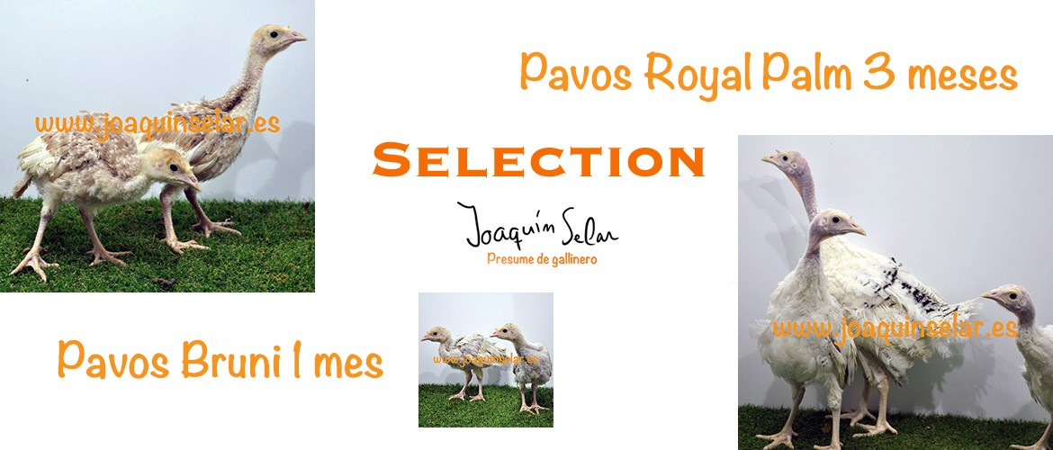 Pavos Selection